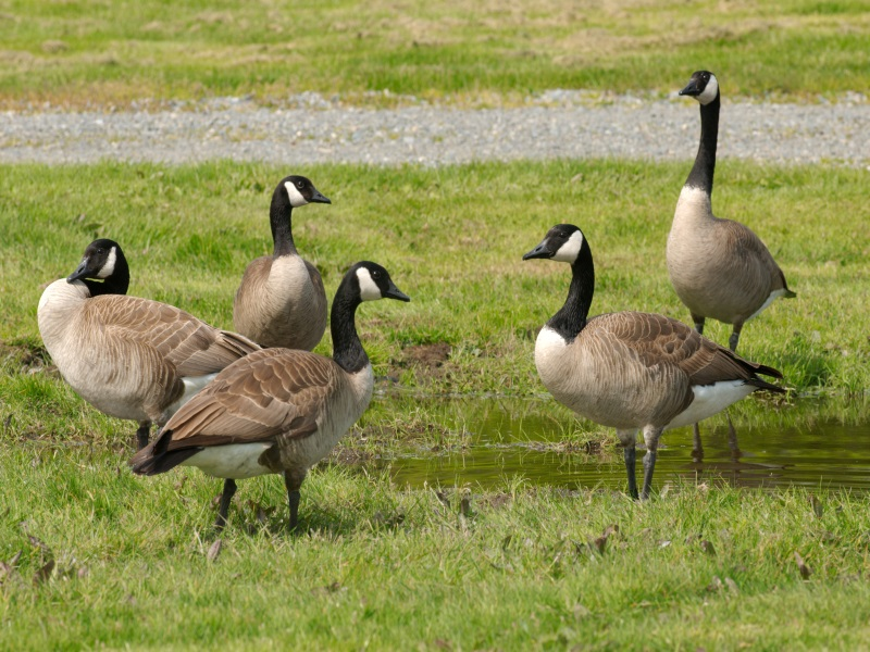Canadian Geese Nest Destruction Application Policy