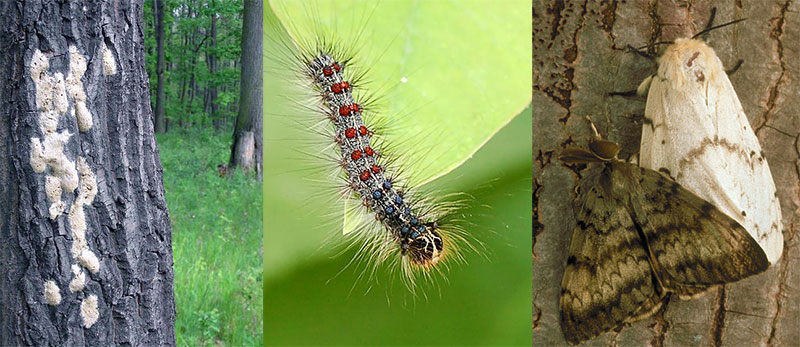 Dealing With Gypsy Moths?